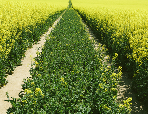 field of yellow flowering mustard seed plants in Springの写真素材 [FYI02246840]