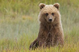 Brown bear, Lake Clark National Park, Alaska, USAの写真素材 [FYI02246844]