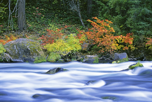 The North Umpqua River flowing through vine maple trees.の写真素材 [FYI02246870]