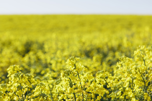A field of yellow flowering blooming mustard seed plantsの写真素材 [FYI02246918]
