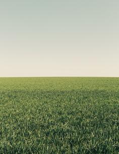 Lush green wheat crop growing in a field. Arable farmlandの写真素材 [FYI02246940]
