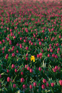 Field of red tulips flowering, and a single yellow daffodil.の写真素材 [FYI02246965]