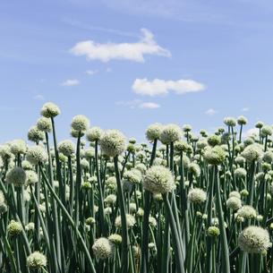 Large crop of blooming Walla Walla Sweet Onions, near Quincyの写真素材 [FYI02247033]