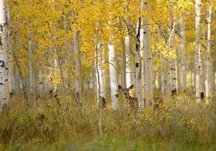 Autumn in Uinta national forest. A deer in the aspen trees.の写真素材 [FYI02247099]
