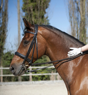 Side view. A bay horse with a bridle.  A rider's gloved hand on the glossy brown hide of the neck.の写真素材 [FYI02247107]