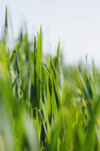 Close up  of a food crop, a field of wheat.の写真素材 [FYI02247116]