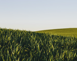 Lush, green rolling hills in a landscape. A crop of wheatの写真素材 [FYI02247131]