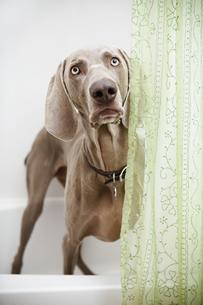 A Weimaraner dog standing looking around a shower curtainの写真素材 [FYI02247228]