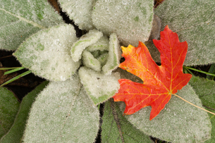 A maple leaf in autumnal colour, resting on the leaves of lamb's ears.の写真素材 [FYI02247250]