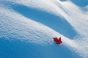 A red autumnal coloured maple leaf against snow.の写真素材 [FYI02247265]