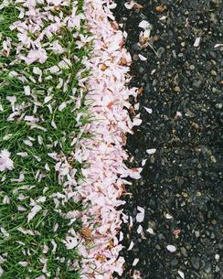 cherry blossom petals blown across the pedestrian sidewalkの写真素材 [FYI02247284]