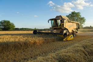 A combine harvester driver working in a field, harvesting a cerial crop.の写真素材 [FYI02247498]