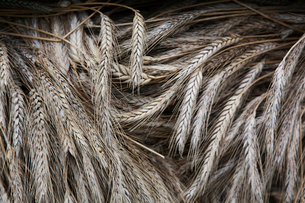 Stalks of cut dried barley with seed heads which are used in traditional thatching roofing methods.の写真素材 [FYI02247526]
