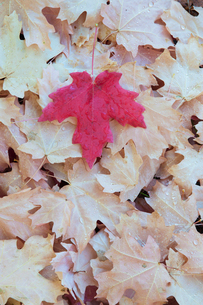 A red autumnal coloured maple leaf on a background of brown leaves.の写真素材 [FYI02247584]