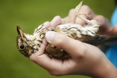 A girl holding a wild bird carefully in her hands.の写真素材 [FYI02247605]