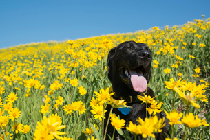A black Labrador dog in a meadow of bright yellow wildflowers.の写真素材 [FYI02247608]