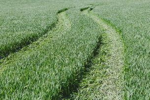 Tire tracks in lush, green field of wheatの写真素材 [FYI02247659]