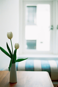 A table and a vase of white tulips, and a window seat with a striped cushion.の写真素材 [FYI02247660]