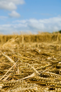 A field of cut straw and seedheads after the harvest of a ripe crop.の写真素材 [FYI02247685]