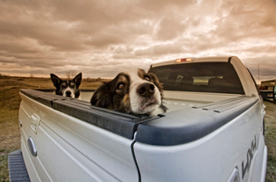 Two dogs peeking over the back of a pick-up truck.の写真素材 [FYI02248358]