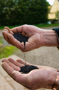 Close up of a man's hands pouring rape oil seeds from one hand into the other.の写真素材 [FYI02248515]