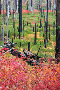 Charred tree stumps and vibrant new growth, red and green foliage and plants in the forest after a fの写真素材 [FYI02248561]