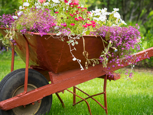 A red wheelbarrow planted up with flowering plants in summer.の写真素材 [FYI02248686]