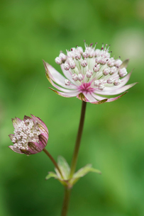 An astrantia flowering plant in a cottage garden with delicate flowerheads.の写真素材 [FYI02248953]