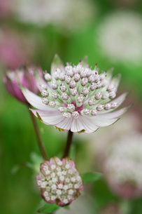 An astrantia flowering plant in a cottage garden with delicate flowerheads.の写真素材 [FYI02249055]