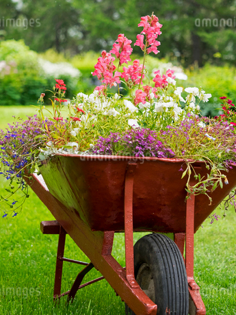 A red wheelbarrow planted up with flowering plants in summer.の写真素材 [FYI02249395]