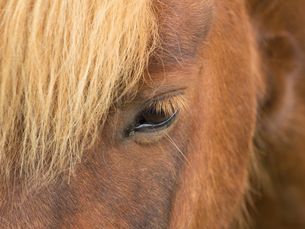 Close of the forelock and head of an Icelandic horse, one open eye with pale golden eyelashes.の写真素材 [FYI02249498]