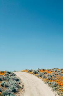 A naturalised crop of the vivid orange flowers, the California poppy, Eschscholzia californica, flowの写真素材 [FYI02249639]