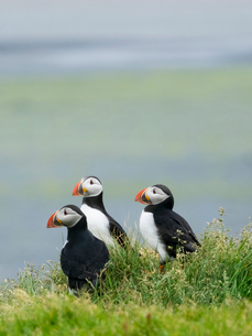 Three puffin birds in the grass on the cliffs of Dyrholaey.の写真素材 [FYI02249643]