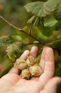 Close up of a hand full of fresh hazelnuts gathered from the hedgerow.の写真素材 [FYI02249726]