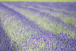 Rows of aromatic plants, lavendula, flowering in fields.の写真素材 [FYI02249853]