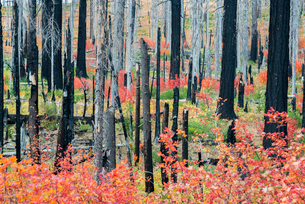 Charred tree stumps and vibrant new growth, red and green foliage and plants in the forest after a fの写真素材 [FYI02249923]