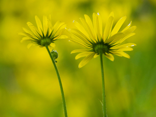 Wild flowers with yellow petals, close up.の写真素材 [FYI02249951]