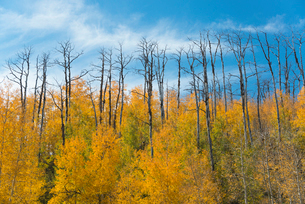 Aspen trees in autumn foliage, and the tall bare trunks of trees after fireの写真素材 [FYI02249962]