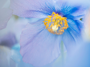 A blue poppy flower, close up with rain drops on the petals.の写真素材 [FYI02250004]