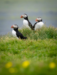 Three puffin birds in the grass on the cliffs of Dyrholaey.の写真素材 [FYI02250220]
