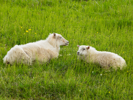 Two sheep with thick fleeces lying in a grass meadow.の写真素材 [FYI02250295]
