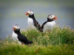 Three puffin birds in the grass on the cliffs of Dyrholaey.の写真素材 [FYI02250328]