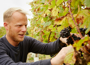 A grape picker at work selecting bunches of grapes on the vine.の写真素材 [FYI02250517]
