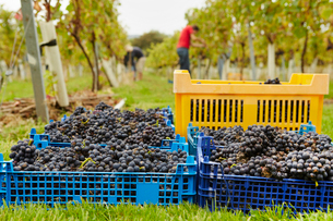 Grape Pickers at work harvesting red grapes. Heaped crates ready for collection.の写真素材 [FYI02250587]