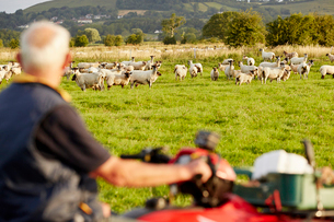 A flock of sheep in a field, and a man on a quadbike looking over his animals.の写真素材 [FYI02250618]