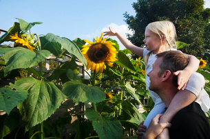 A girl seated on her father's shoulders, reaching to touch a sunflower in full bloom.の写真素材 [FYI02250631]