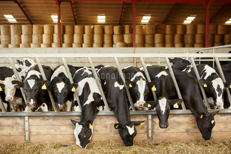 A row of cattle feeding on hay in an open barn on a farmの写真素材 [FYI02250658]