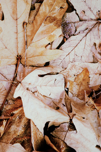 Pile of dried maple leaves in autumn.の写真素材 [FYI02250757]