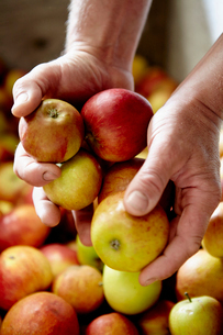 A family cider making business. A person sorting apples.の写真素材 [FYI02250855]