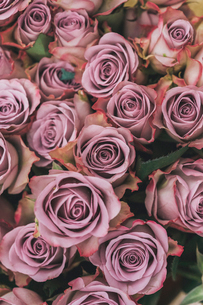 Roses, tightly furled flowers with soft dusky pink coloured petals, packed together.の写真素材 [FYI02250877]